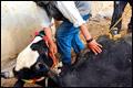 Ритуальный забой скота